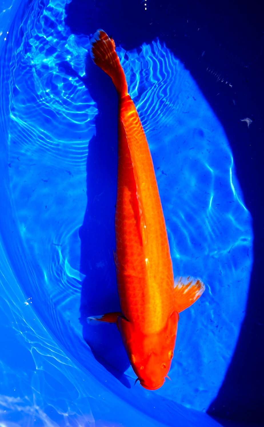 Klang koi aquarium high quality koi champion koi for High quality koi